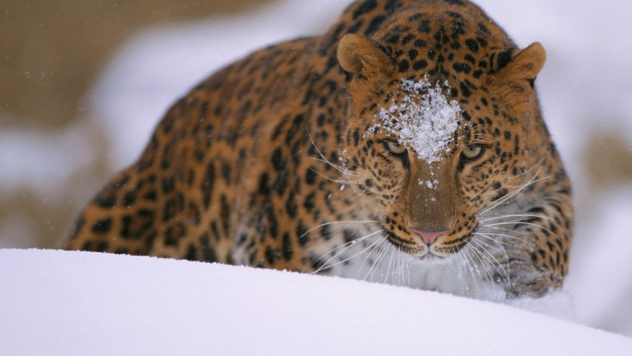 free winter wallpapers leopard